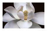 Magnolia Plakaty