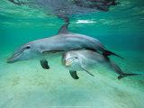 Delfiner Posters av  Hubert & Klein