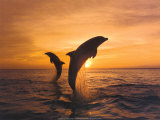 Two Dolphins Prints by  Hubert & Klein
