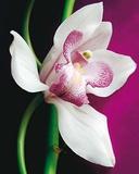 Orchidée Posters par Amelie Vuillon