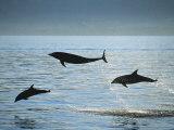 Bottlenose Dolphin Art by Francois Gohier