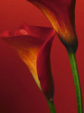 Red Calla Lilies - Poster