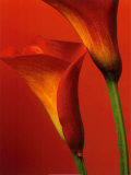 Red Calla Lilies Print