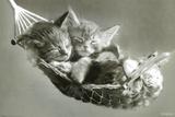 ハンモックに乗った子猫たち ポスター : キース・キンバリン