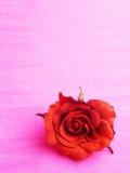 Red rose Fotografiskt tryck