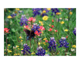 Butterfly & Bluebonnets Photographic Print by Larry L. Weingartner