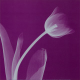 Silver Tulip Prints by Steven N. Meyers