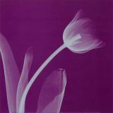 Silver Tulip Print by Steven N. Meyers