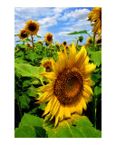 Sunflowers Photographic Print by Larry L. Weingartner
