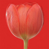 Red Tulip Posters by Jan Lens