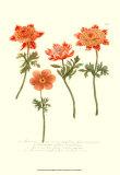 Anemone II Prints by Johann Wilhelm Weinmann