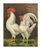 Roosters VI Prints by  Cassell