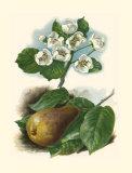 Pear Blosom Poster