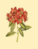 Blushing Rhodos II Prints