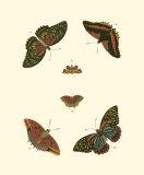Cramer Butterfly Study II Prints by Pieter Cramer