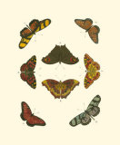 Cramer Butterfly Study IV Prints by Pieter Cramer