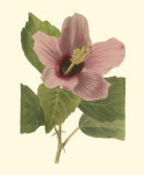 Hibiscus I Print by Cooke