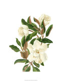 Magnolia II Premium Giclee Print by Pamela Shirley