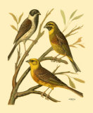 Domestic Bird Family I Poster by W. Rutledge