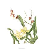 Orchid II Premium Giclee Print by Pamela Shirley
