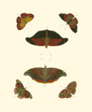 Cramer Butterfly Study III Posters by Pieter Cramer
