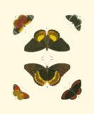 Cramer Butterfly Study I Print by Pieter Cramer
