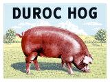 Duroc Hog Giclee Print