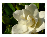 Gardenia with morning dew Photographic Print by Olga Curd