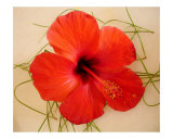 Hibiscus Photographic Print by Lisa Rogers