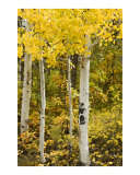 Golden Aspens Photographic Print by Linda Armstrong
