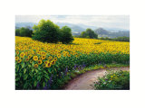 Field of Sunflowers Prints by Gerhard Nesvadba