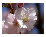 Cherry Blossom Photographic Print by Mary Lane
