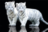 Tigre blanc Affiches