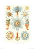 Colonial Jellyfish, Tablet 93, c.1899-1904 Kunstdrucke von Ernst Haeckel