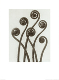 Adiantum Pedatum, Hair Fern Posters by Karl Blossfeldt