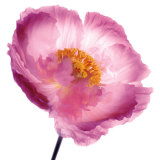 Pink Poppy Art by Ian Winstanley