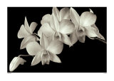 Orchidée II Affiches par Ahmed Sirry