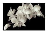 Orchidee II (Miniatur) Kunstdrucke von Ahmed Sirry
