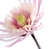 Pink Flower Posters by Ian Winstanley