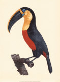 Le Grand Toucan Giclee Print by Jacques Barraband