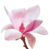 Magnolia I Print by Katja Marzahn