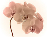 Orchid Dawn II Prints by Katja Marzahn