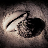 Cowrie Prints by Laurel Wade