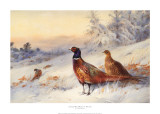 Cock and Hen Pheasant in Snow Art by Archibald Thorburn