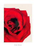 Red Rose Posters by Will Taylor