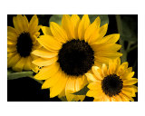 Seeing Sunflowers Photographic Print by Janet  E Cartwright