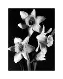 Daffodils Prints
