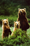 Three Bears Pôsters