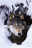 Wolf im Winter Foto