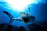 Shark Kunstdruck
